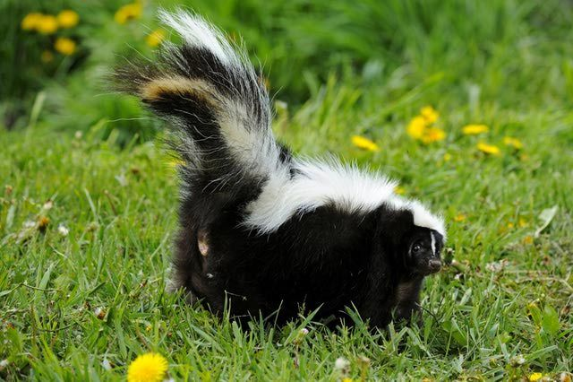 Get rid of skunk odor: Myths and Facts