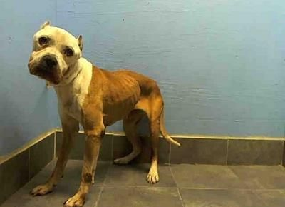 SUPER URGENT 10/30/13 Brooklyn Center   PUTTI - A0983670  EMALE, BROWN / WHITE, PIT BULL MIX, 11 yrs STRAY - STRAY WAIT, NO HOLD Reason STRAY Intake condition ILLNESS Intake Date 10/30/2013, From NY 11434, DueOut Date 11/02/2013,  https://www.facebook.com/photo.php?fbid=698557936823755&set=a.617942388218644.1073741870.152876678058553&type=3&theater