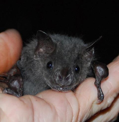 Lovely little creatureBats Stuff, Sweets Face, Amazing Bats, Beautiful Bats, Bats Woman, Amazing Animal, Batty Bats, Bats Rules, Animal Reference