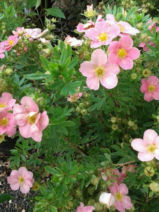 16 best Cistus images on Pinterest Colors Daisy and Flora