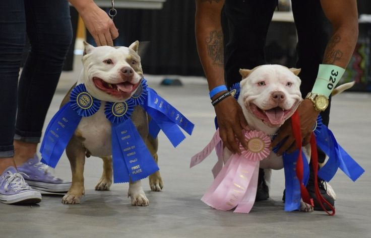 Abkc American Bully Champions American Bully North Vs South