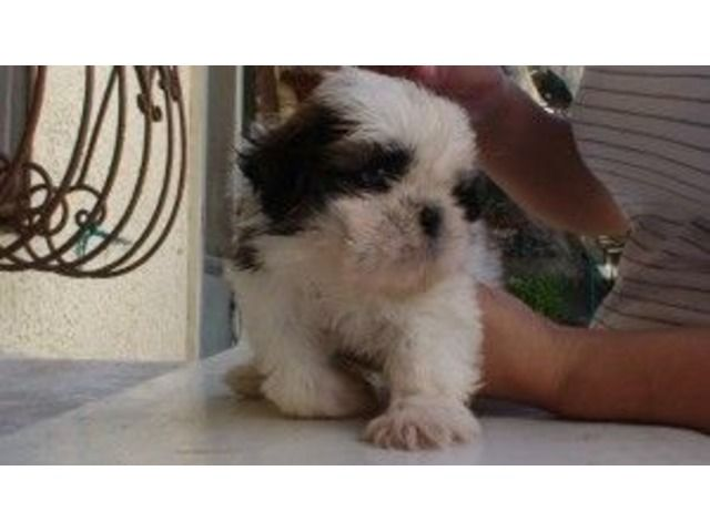 Very Cute Social And Lovely Shih Tzu Puppies Are Here Shih Tzu