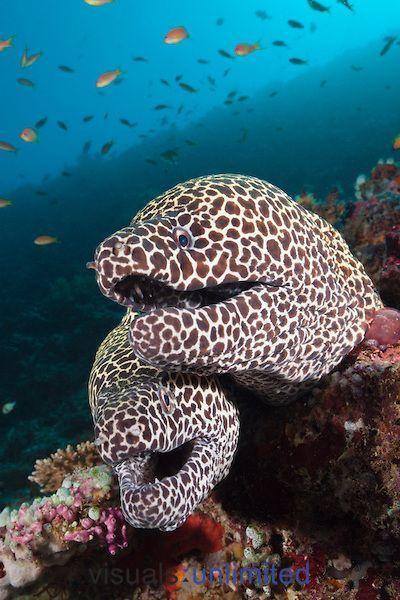 **Honeycomb Moray Eels