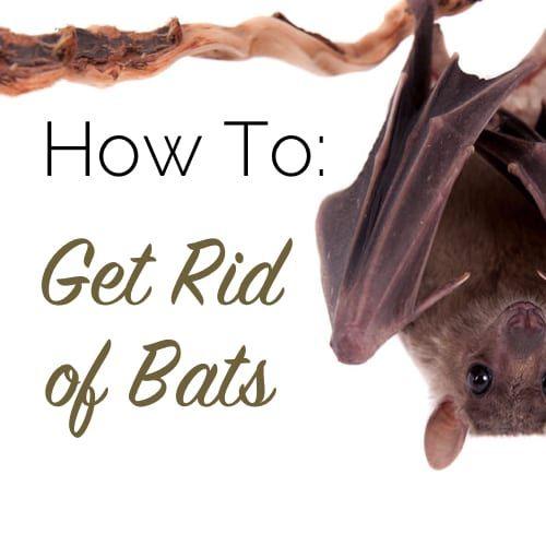 How To Get Rid Of Bats The Craftsman Blog Getting Rid Of Bats Bat Bat Conservation International