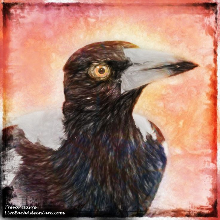 This week's DigitalArt image comes about after we took a photo of an Australian Magpie when he visited our garden recently. Unfortunately while we loved the photo of the bird, the background was disappointing, and so once again we turned to Photoshop. Keep reading to find out what we did.