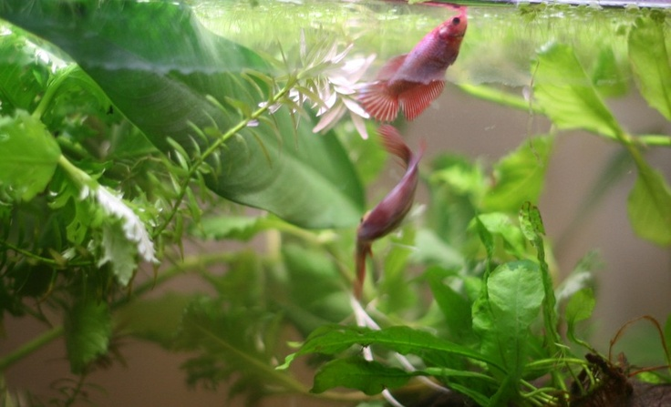 59 best images about betta splendens on pinterest banana for Betta fish together