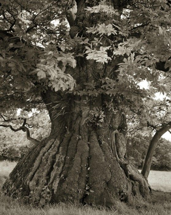Beth Moon - Croft Castle Chestnut: Spent 14, Croft Castles, Beautiful Trees, Amazing Trees, Castles Chestnut, Years Photographers, Oldest Trees, Ancient Trees Beth Moon 12 14, 14 Years