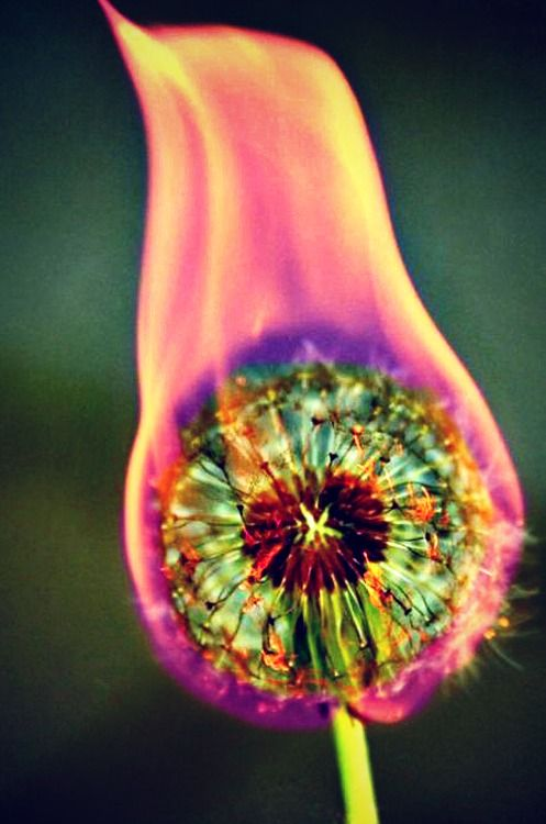 Dandelion on fire. It burns all different colors! :) Adult-supervised summer fun!