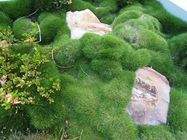 No Mow Korean Grass Plants Grasses Garden Beds