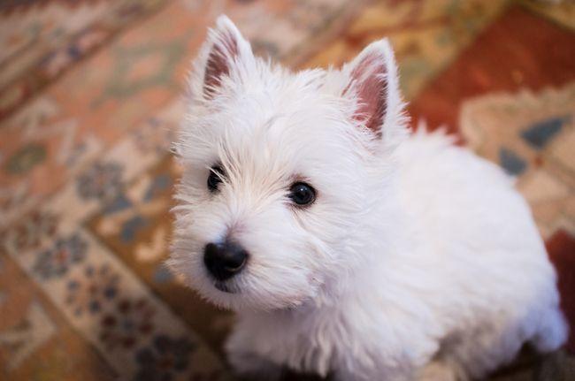 WEST HIGHLAND WHITE TERRIER | ... de Hercule Des Petits Ecossais, chien West Highland White Terrier                                                                                                                                                                                 Plus