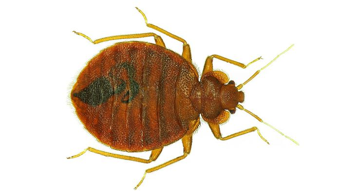 bed bugs have favorite colors when these blood suckers reach adulthood they prefer red and. Black Bedroom Furniture Sets. Home Design Ideas