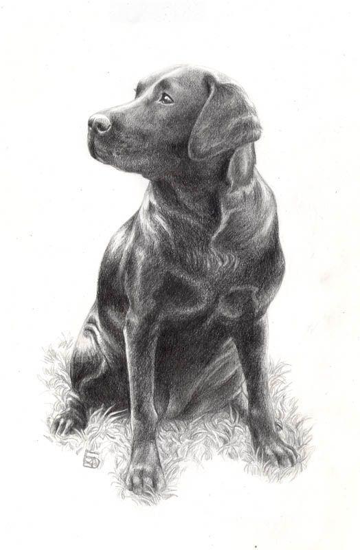 Картинки карандашом лабрадоров