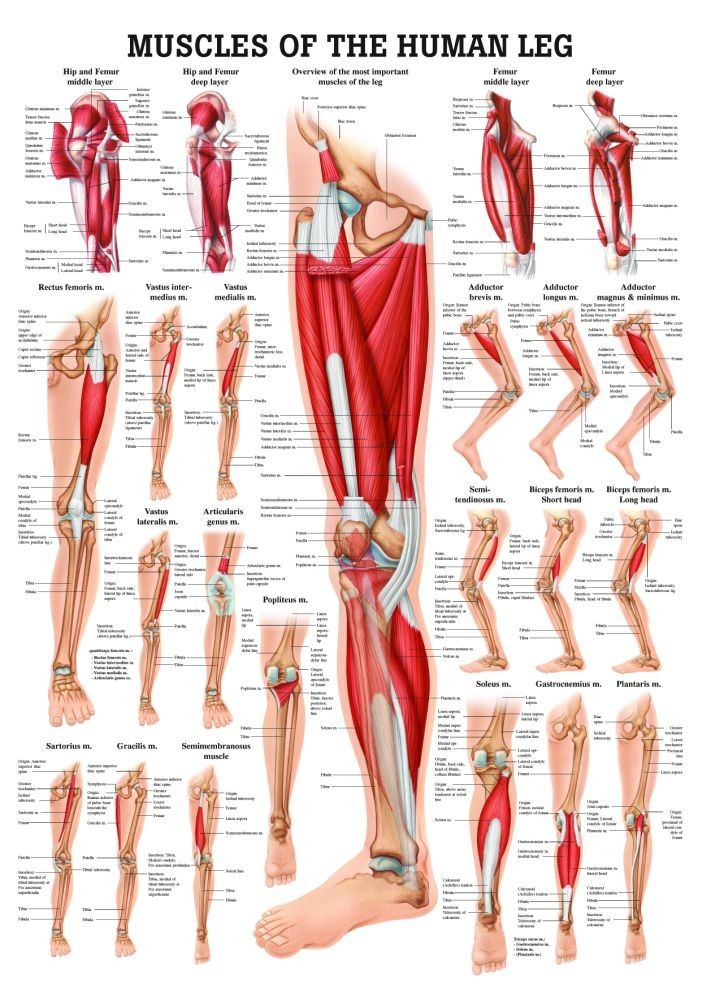 Muscles of the Leg Laminated Anatomy Chart