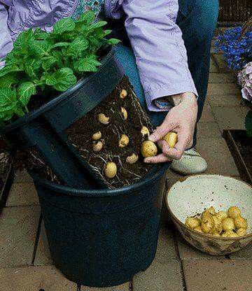 cultivo de papas en maceta
