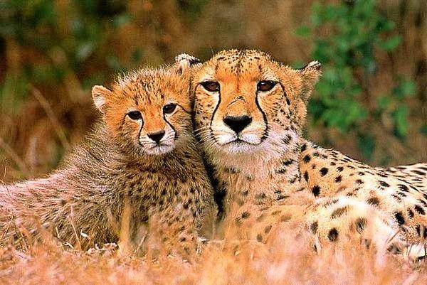 portrait d'un bébé guépard et sa maman