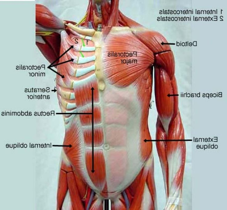 Chest Muscles Anatomy