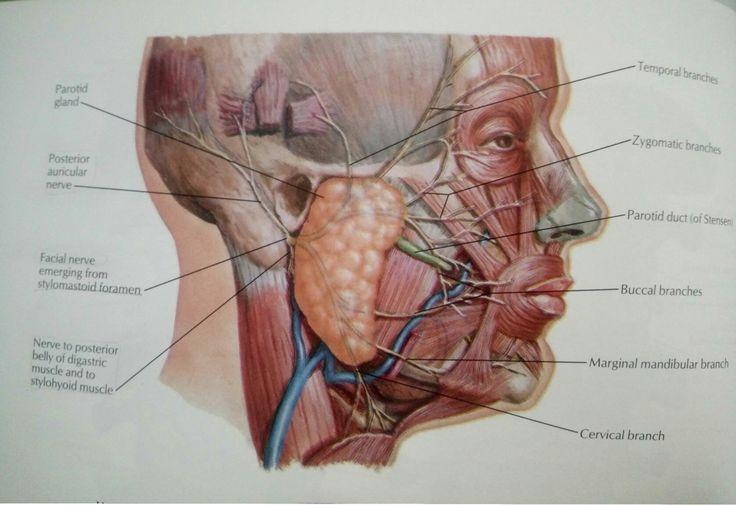 Facial nerves anatomy