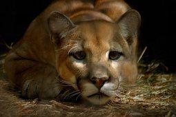 Puma, Puma, León de montaña, triste, ojos, cara, bigotes, ojos