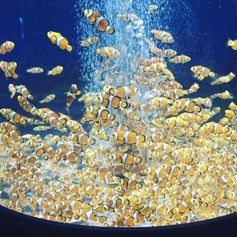 【chihooffice】さんのInstagramをピンしています。 《ニモϵ( 'Θ' )϶好きだけど… ちょっと詰め込みすぎよねぇ😓💦 イソギンチャクに隠れてる感じがいいのに😘 #SEA #海 #diving #旅行 #マブ #親友#ニモ#カクレクマノミ#ファインディングニモ#カワイイ#ダイビングしたい#潜りたい#鴨川シーワールド#水族館#gopro#goproのある生活》