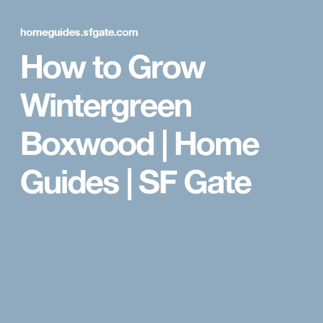 How to Grow Wintergreen Boxwood | Home Guides | SF Gate