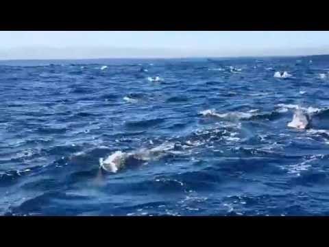 Dolphin frenzy - Robben Island, Cape Town - YouTube