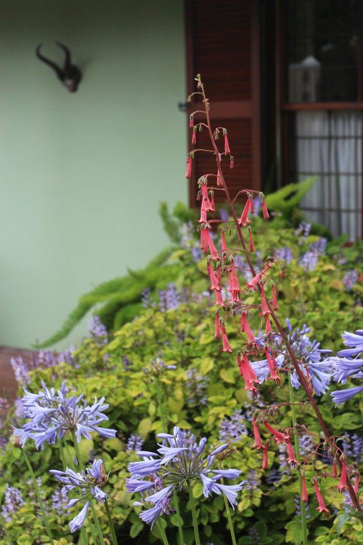 marie-viljoen-cape fuchsia-gardenista