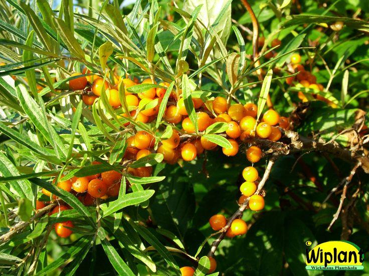 Hippophae rhamnoides 'Julia', honplanta. Rödare och något större bär än Raisa. För prydnad eller mindre odlingar. Höjd: 2 m. Zon V.