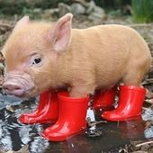 The cutest piglet on the net