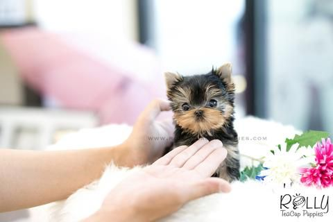 Available Puppies - Rolly Teacup Puppies | Teacup puppies ...