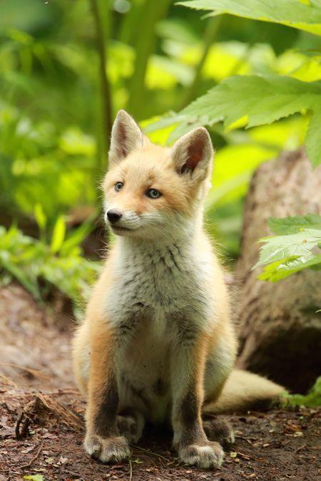 Фурри fox champagne