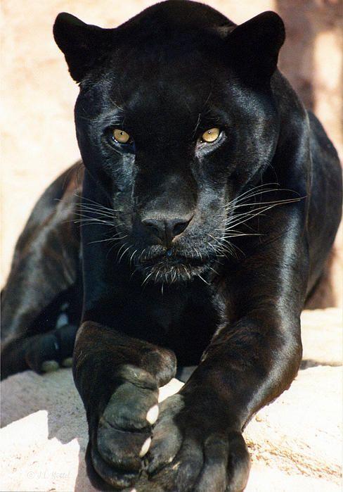 25+ best ideas about Black jaguar on Pinterest | Panther ... - photo#21