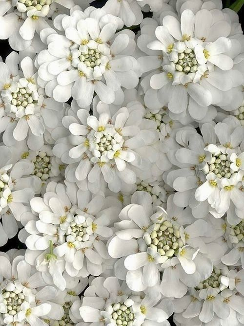 Candytuft is a woody-stemmed herbaceous Perennial. It is a tough little plant that loves the sun. Great for borders, containers, attracts butterfiles and redheaded woodpeckers zone 3 -9