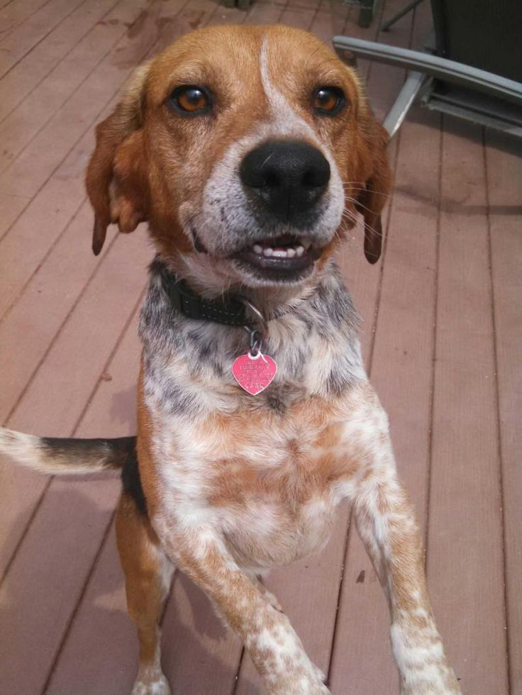 Meet Jerry, an adoptable Beagle looking for a forever home. If you're looking for a new pet to adopt or want information on how to get involved with adoptable pets, Petfinder.com is a great resource.