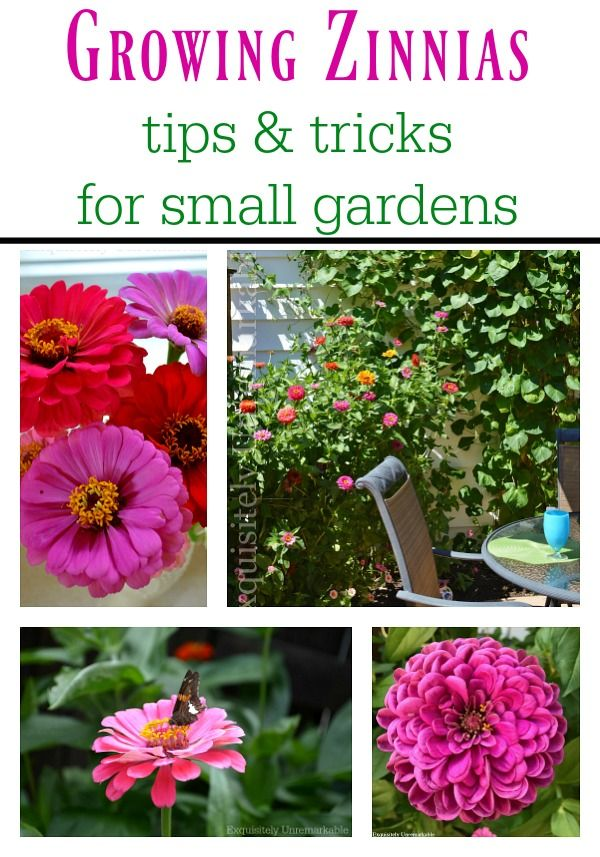Decorating Cheats Zinnia Bush From Seeds Planting Flowers From