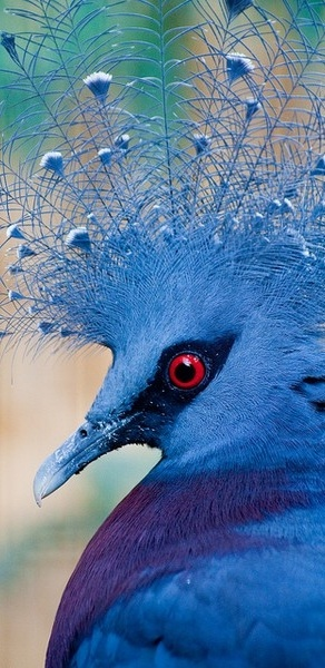The Victoria Crowned Pigeon (Goura victoria) is a large, bluish-grey pigeon with elegant blue lace-like crests, maroon breast and red iris. It is part of a genus of three unique very large, ground-dwelling pigeons native to the New Guinea region.