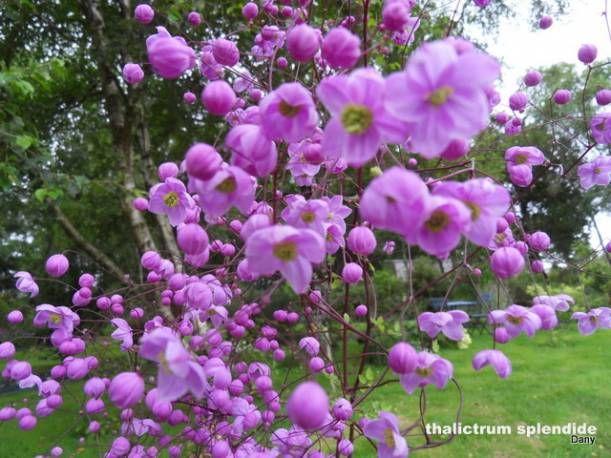 Rutewka Delavay A Thalictrum Delavayi Albamar Flowers Shrubs Plants