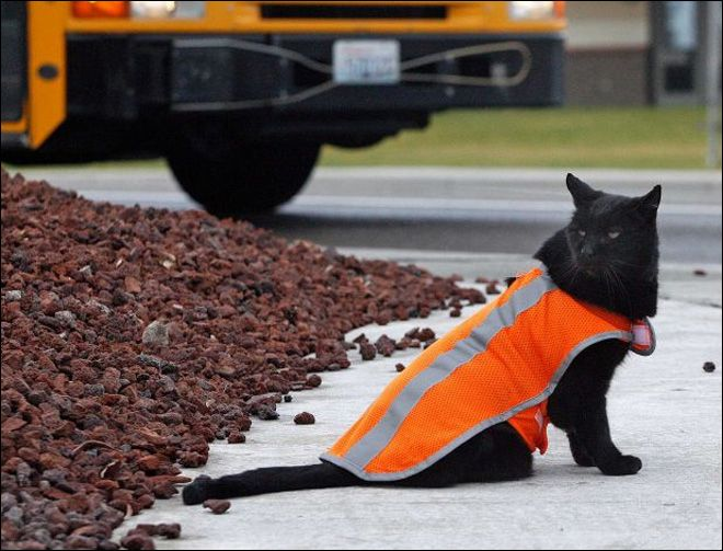Sable, the crossing guard cat that greets students at a Washington high school every day