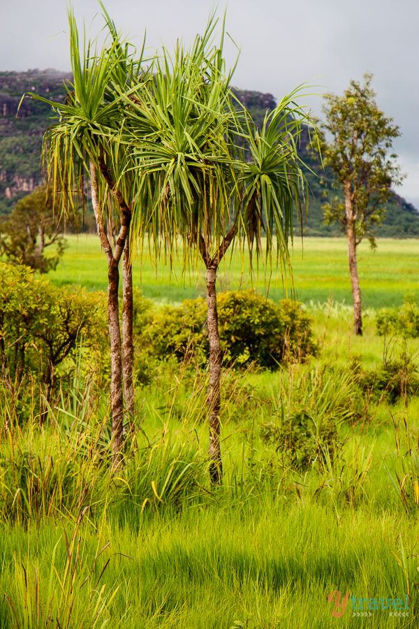 Arnhem Land anyone? Such lush, green grass! I have NEVER seen grass so green! It makes me wonder what beautiful animals hide in it's color!