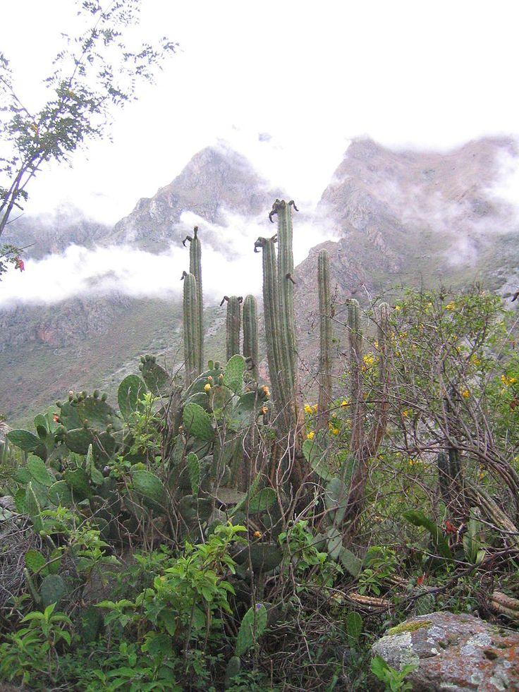 Echinopsis pachanoi  on a trek from Ollantaytambo to Machu Pichu