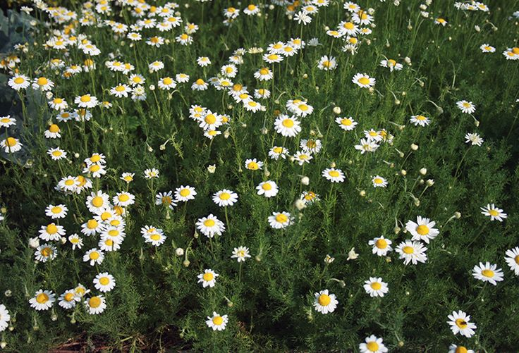 Chamomile - grow this in a medieval inspired herb garden - image by Karelj - own work / public domain