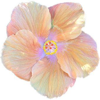 Λουλούδι, Άνθος, Ιβίσκο