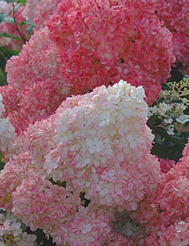 Beautiful Vanilla Strawberry Hydrangea that blooms from June to first frost! I