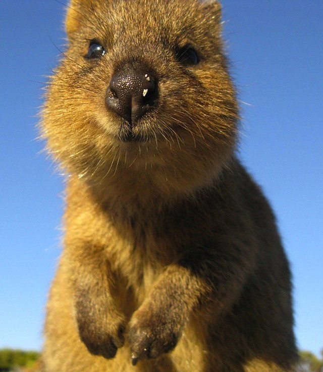 Quokkas are about the size of a domestic cat and extremely friendly,   Meet the Quokka — the Happiest Animal Ever   POPSUGAR Pets