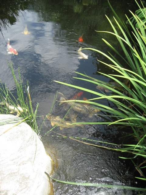 Koi pond music of water effects bird baths music of for Koi pond music