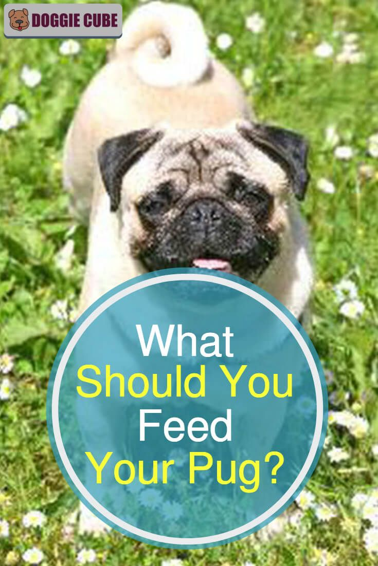 What Should You Feed Your Pug Best Dog Food Pugs Dog Nutrition
