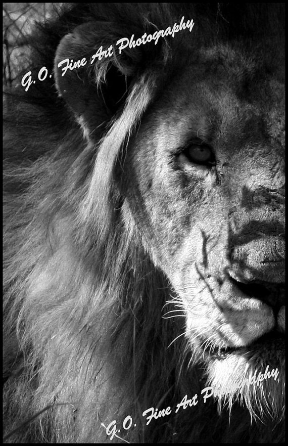 African Wildlife Adult Lion Male Photographic by AfricanSensations, $26.00