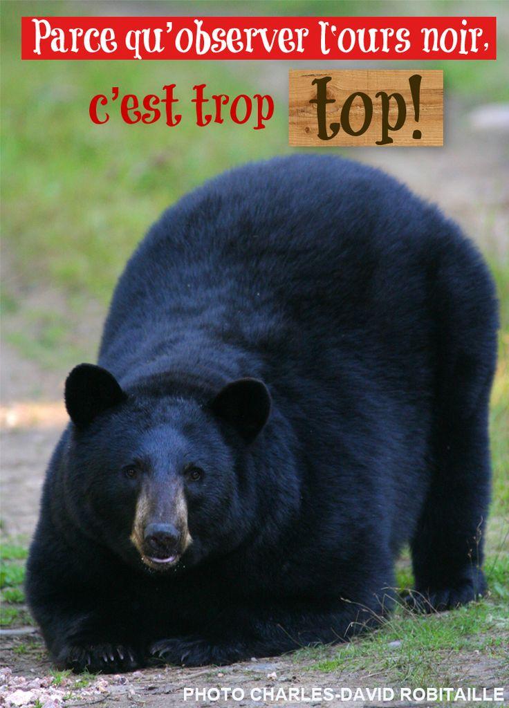 Voici une autre bonne raison de visiter le #Saguenay_Lac cet automne : parce qu'observer l' #ours noir c'est trop top! Raison no.167 #175raisons
