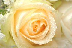 żółte róże z kropelkami - Szukaj w Google