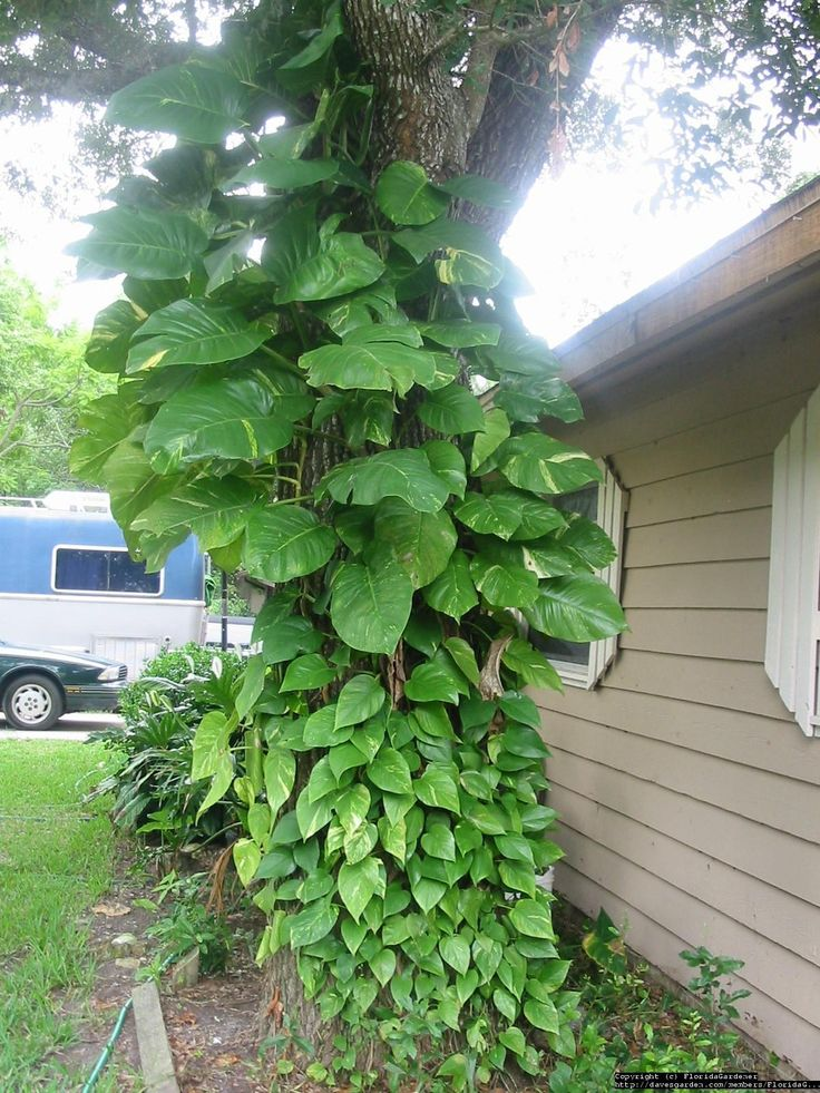 Devils Ivy, Golden Pothos, Centipede Vine (iEpipremnum aureum/i) growing up a tree in south florida