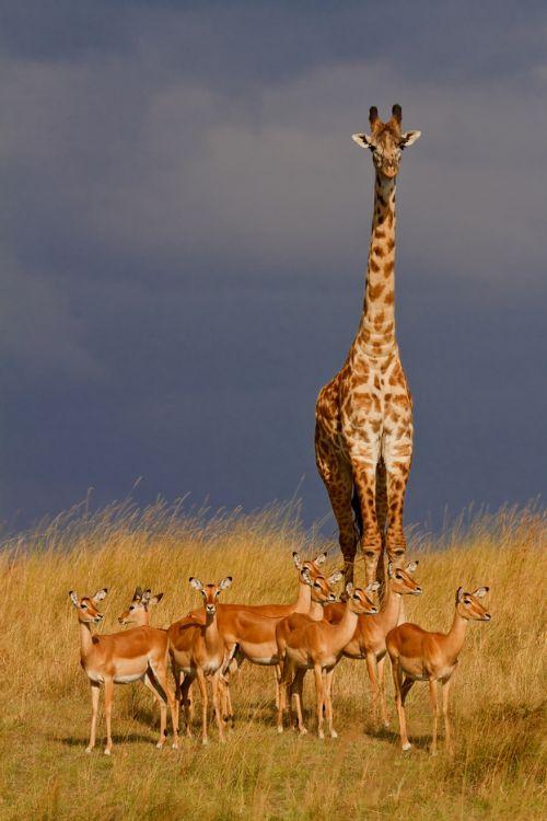 Giraffe and impalas, Masai Mara National Reserve, Kenya - ©Claudia N. Schreiber-Jaeggi  www.fotocommunity.de/pc/pc/mypics/1794357/display/30340274